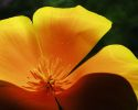 California for Visitors Poppy
