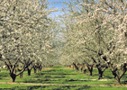 Fresno: Pear Orchard in Bloom